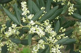 mas sénéguier producteur huile d'olives en Provence