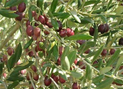 Huile d'Olive provençale de qualité producteur local